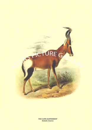 THE CAPE HARTEBEEST - Bubalis Caama
